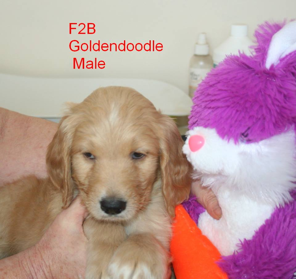 Hutton's Precious Puppies: Available Goldendoodle Puppies